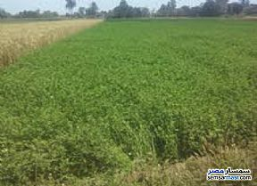 Farm 196 acre For Sale Quesna Minufiyah - 1