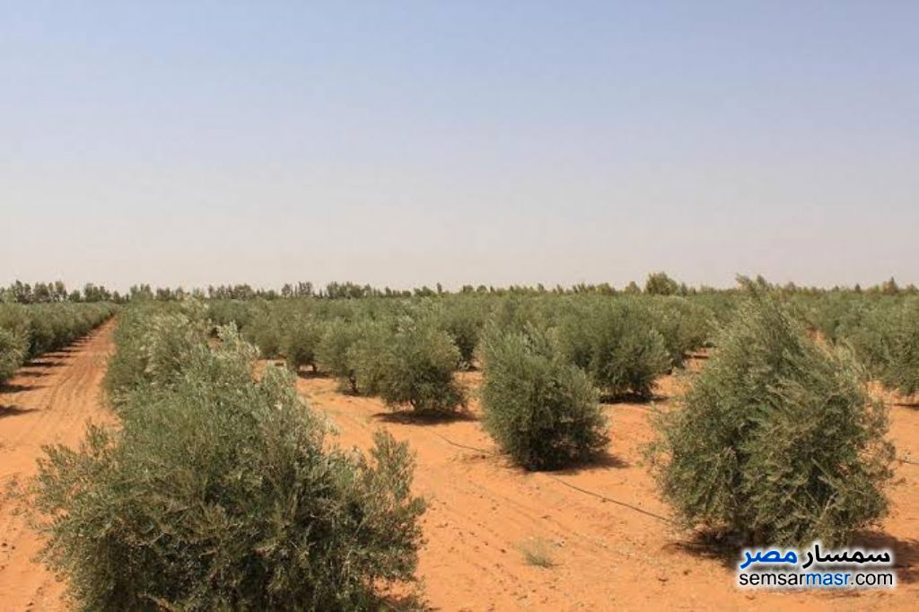 Photo 2 - Farm 15 acre For Rent New Fayoum Fayyum