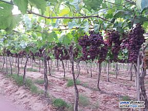 Ad Photo: Farm 11 acre in Sadat  Minufiyah