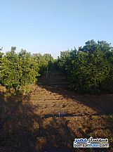 Farm 10 acre For Sale Badr Buhayrah - 11
