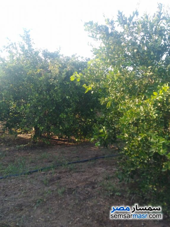 Photo 6 - Farm 10 acre For Sale Badr Buhayrah