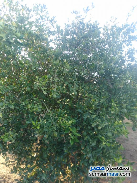 Photo 8 - Farm 10 acre For Sale Badr Buhayrah